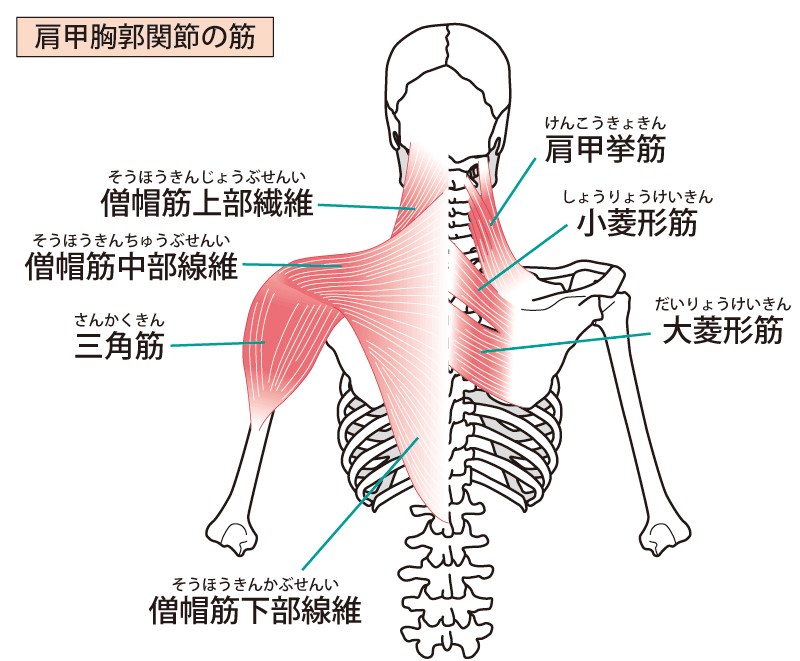 肩甲挙筋が肩こりの原因に